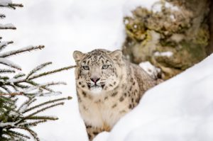 snow-leopard-1985510_1920