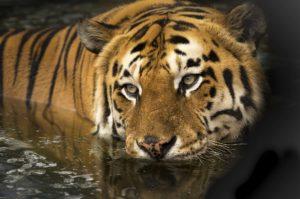 tiger-2791980_1920